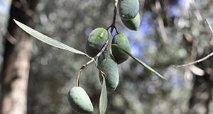 Aceitunas variedad picual