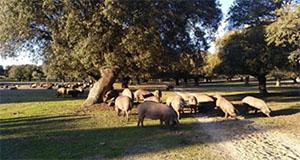 Cerdos de bellota ibérico