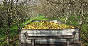 Manzanas de la DOP Sidra de Asturias