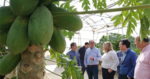 Producción de papaya